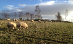 Watch for signs of a chronic fluke burden in sheep are seen later in the winter or into the spring