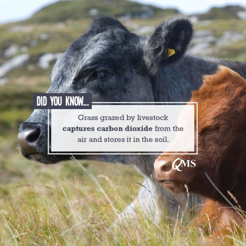 Grass grazed by livestock captures carbon dioxide
